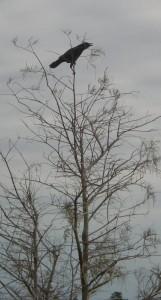 American Crow. Everglades. Photo Gunnar Engblom