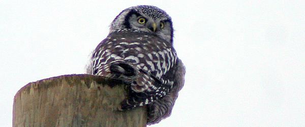 Northern Hawk Owl. Peru, NY. Photo. Corey Finger