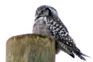 Northern Hawk Owl Peru, NY Dec 2008. Photo: Corey Finger
