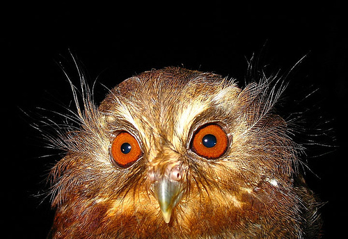 Long-whiskered Owlet Xenoglaux loweryi. Photo: ECOAN/ABC