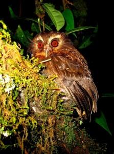 Long-whiskered Owlet. Photo: David Gaele ECOAN/ABC