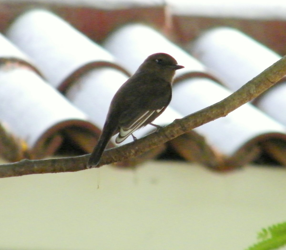 Partially albinistic melanistic form of Vermilion Flycatcher