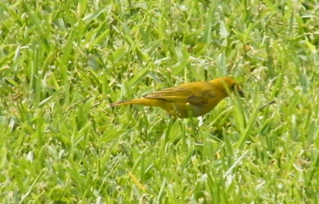 Saffron Finch is a bird native to NW Peru and thus introduced in Lima.
