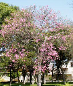 Ceiba speciosa Floss Silk Tree