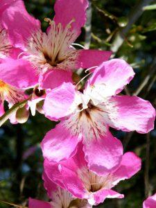 Flower details - Ceiba speciosa