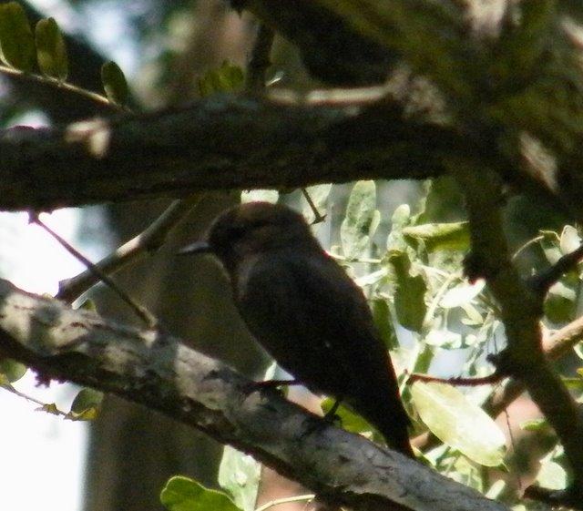 Vermilion Flycatcher -Melanistic morph