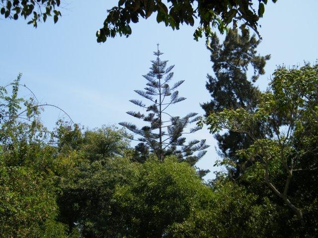 Araucaria heterophylla and Harris's Hawk