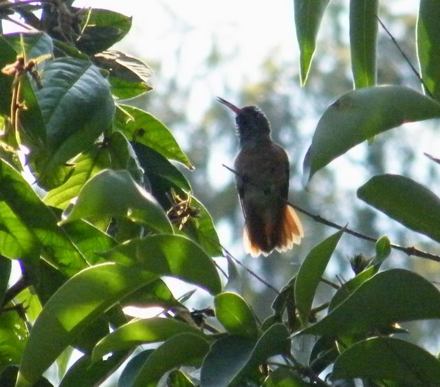 Amazilia Hummingbird - very distant and difficult condition to get good picture. Easily identified on the red tail and the red ill.