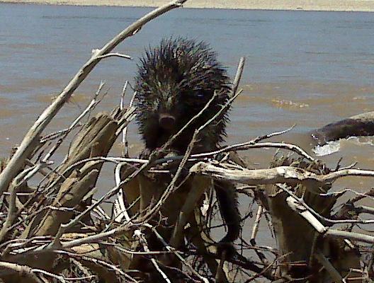 Bicolor-spined Porcupine (Coendou bicolor)