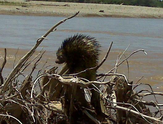 Bicolor-spined Porcupine