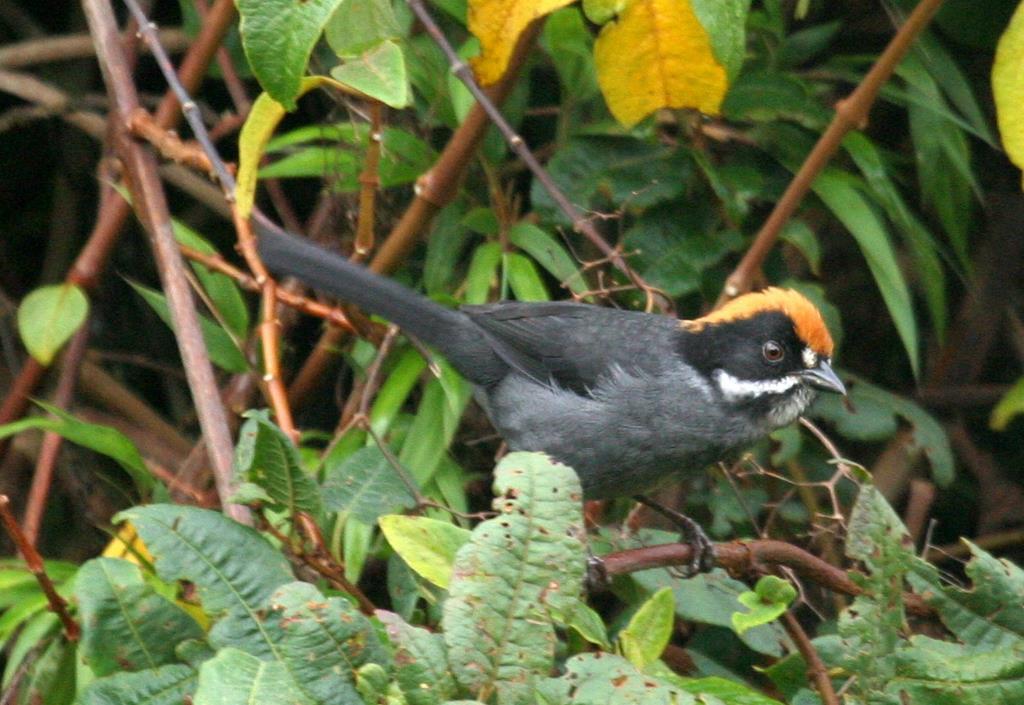 Taczanowski Brush-Finch (Slaty Brush-Finch)
