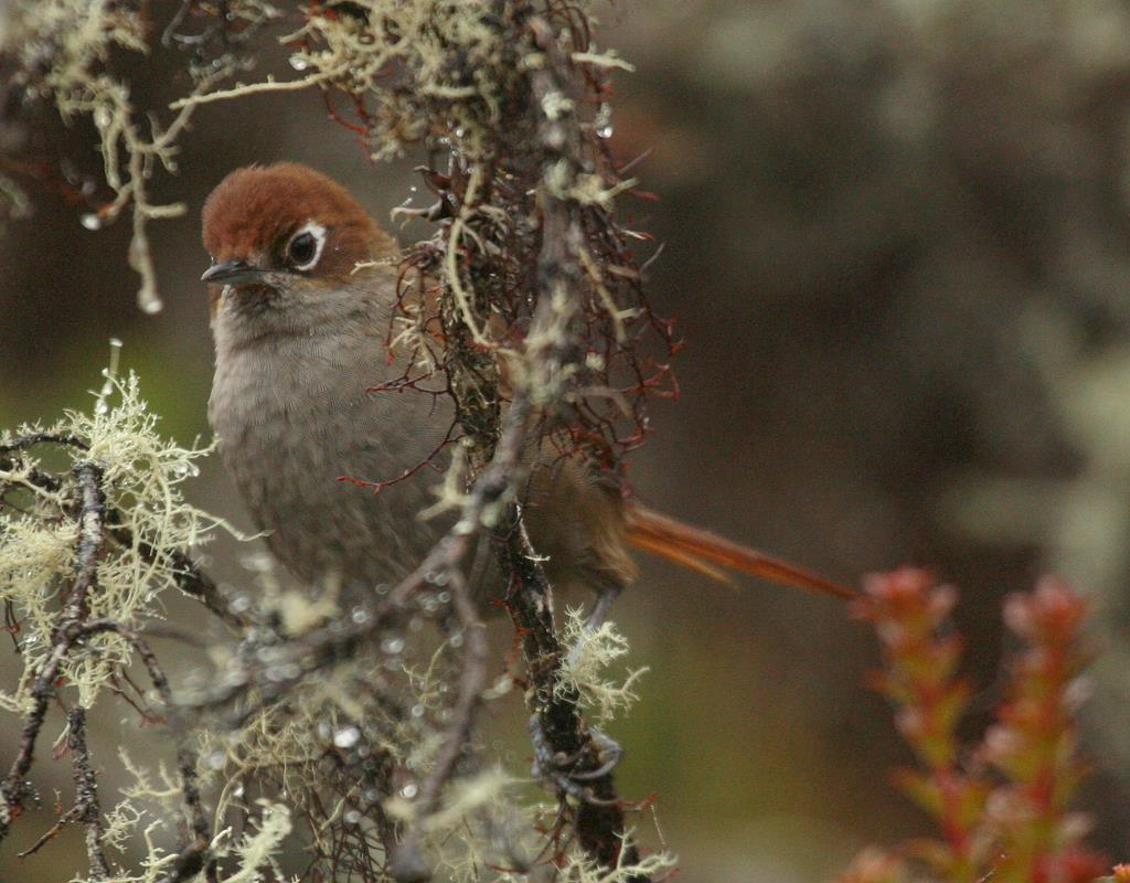 Eye-ringed Thistletail - Special endemic bird of Satipo road