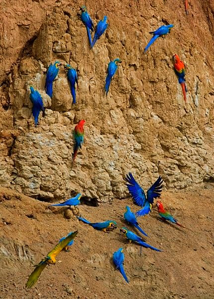 Blue-and-Yellow Macaw & Scarlet Macaw. Photo: Tim Ryan