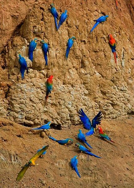 macaw-lick-tambopata-tim-ryan-1