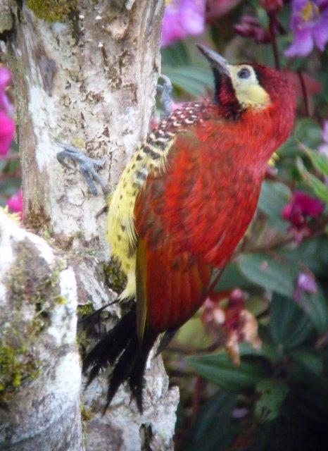 Crimson-mantled Woodpecker. Photo: Juan Jose Chalco.