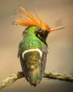 Rufous-crested Coquette. Photo: Alex Duran