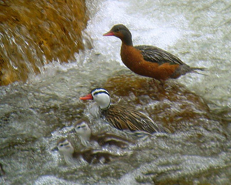 Torrent Duck. Photo: Alex Duran