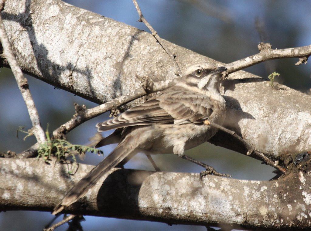 Long-tailed Mockingbird Chaparri. Photo: Gunnar Engblom