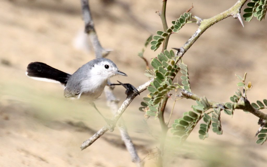 White-faced (Tropical) Gnatcatcher. Bosque Pomac. Photo Gunnar Engblom