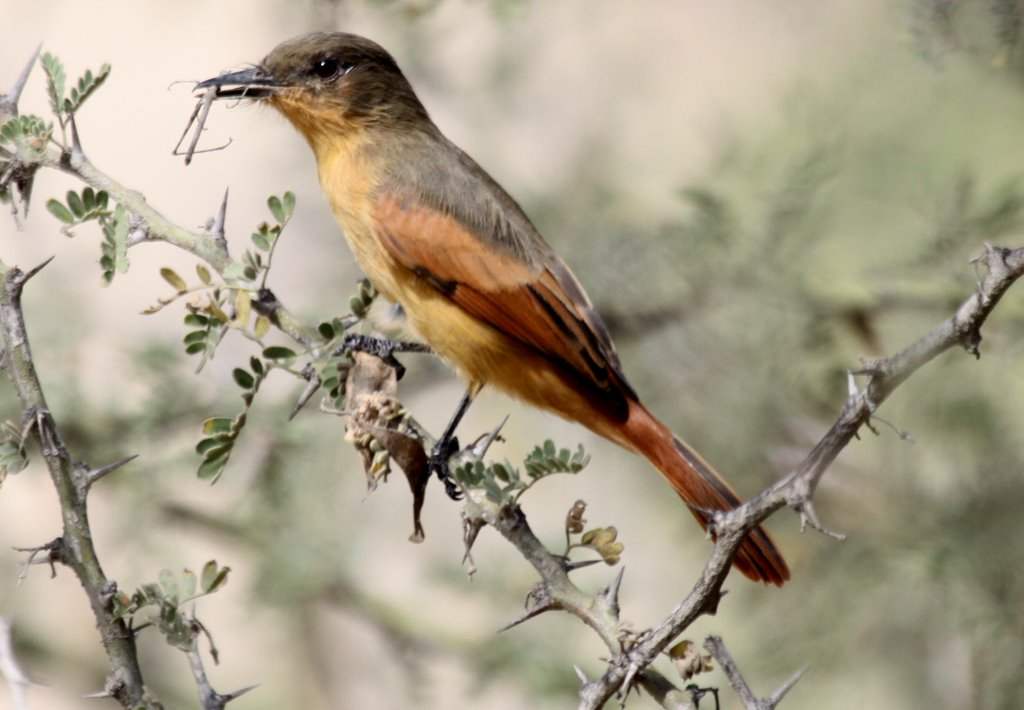 Rufous Flycatcher. Bosque Pomac. Photo Gunnar Engblom. Rufous Flycatcher is one of the most wanted endemic species in the region and generally uncommon to rare.