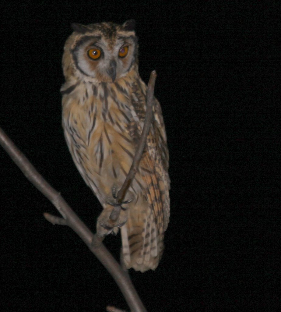 Striped Owl. Chaparri. Photo Gunnar Engblom