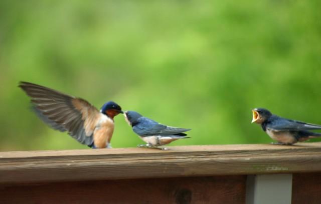 Barn Swallow. Feed me mama. Photo: Wren of Wrenaissance reflections