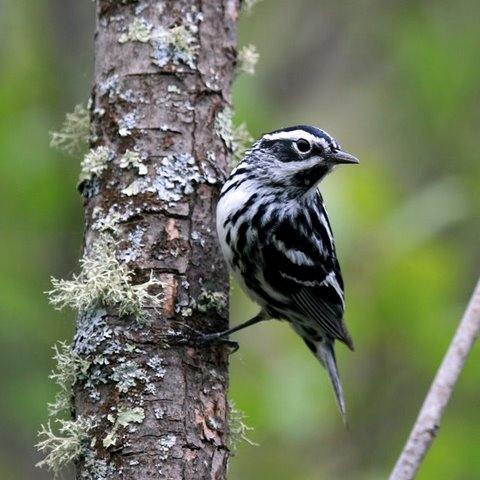 Seven Seconds With a Black and White Warbler  by Lynne Schoenborn of Hasty Brook