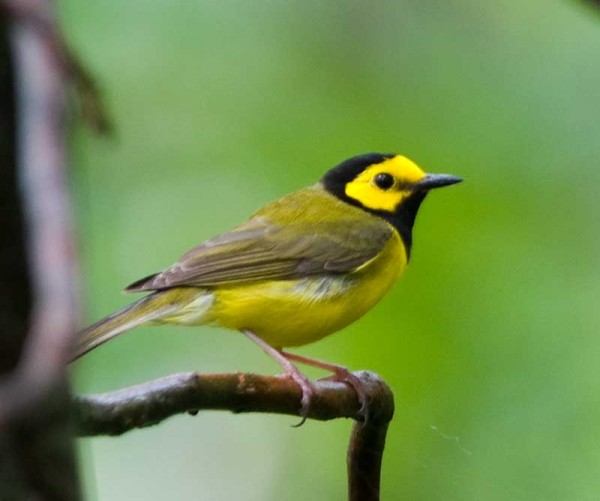 Hooded Warbler was a lifer for Amber Coakley of Birder's Lounge on her recent trip to Ozark Mts in Arkansas.