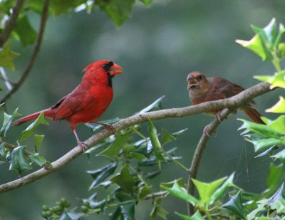 Northern Cardinal and juvenile. Photo: Vickie Henderson of Vickie Henderson Art