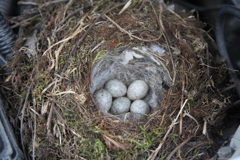 Anyone knows what species put these eggs here and what to do with the nest?