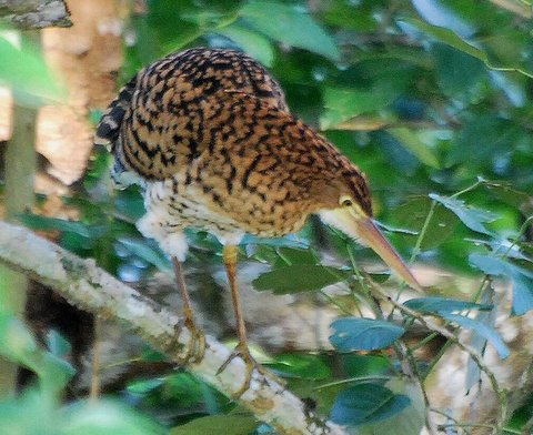 Juvenil Rufescent Tiger-Heron from Gamboa, Panama. Photo: Jan Axel of Jan Axel Blog