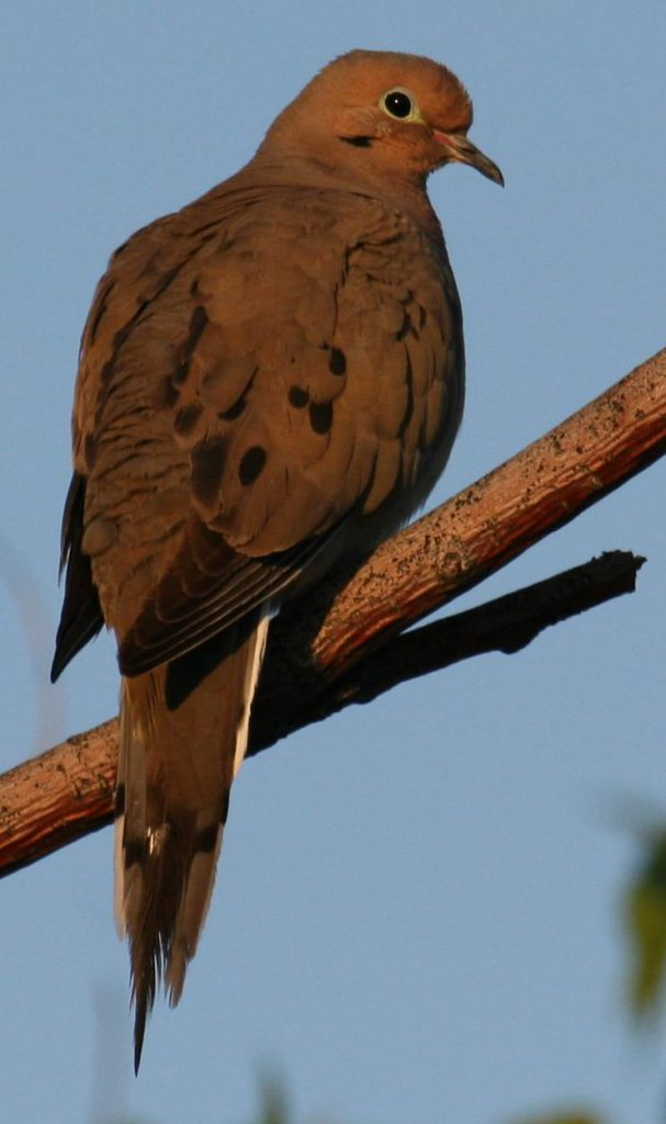 Begin the day with birds. Mourning Dove at first light a summer morning. Photo: Dave Alcock of DaveA's Birding Blog