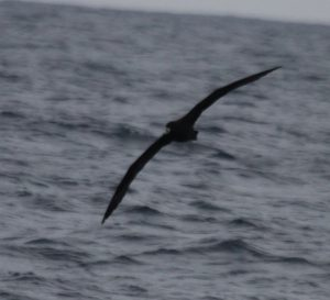 Wandering Albatross - I wonder?