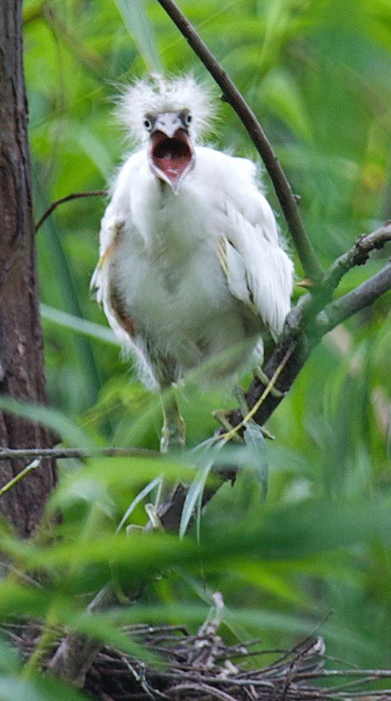 Is this Cute or Ugly? Little Blue Heron Chick Photo: Kelly Ricceti of Red and the Peanut