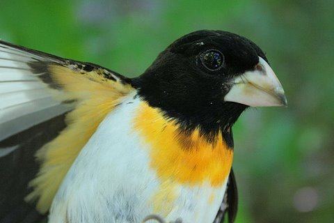 """Yellow-breasted"" Grosbeak - a Rose-breasted Grosbeak with xanthochroism. Photo: Seabrooke Leckie"
