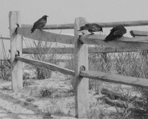Fish Crow. Photo: John Beetham of  A DC Birding Blog