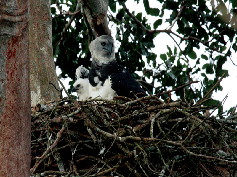 Harpy Eagle. Puerto Maldonado. Photo: Walter Mansilla