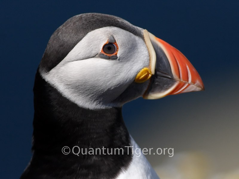 Atlantic Puffin. What a bill! Photo: Ian Coleman of Quantum Tiger