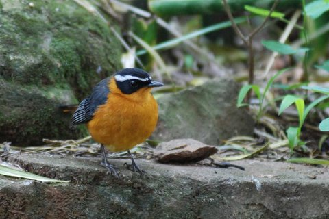 Rüppell's Robin-Chat (Cossypha semirufa). Photo: David Ringer of Search and Serendipity