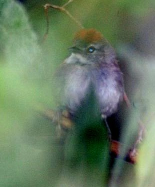 Rio Orinoco Spinetail: Chris Sloan