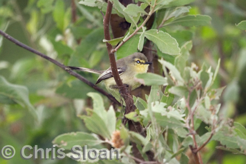 Unnamed Wagtail-tyrant at Orinoco River island, Delta Amacuro