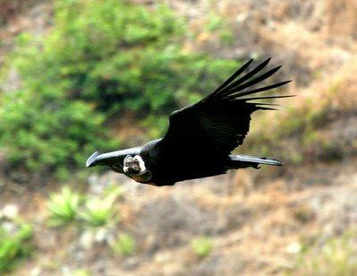 Andean Condor.  Photo: Gunnar Engblom