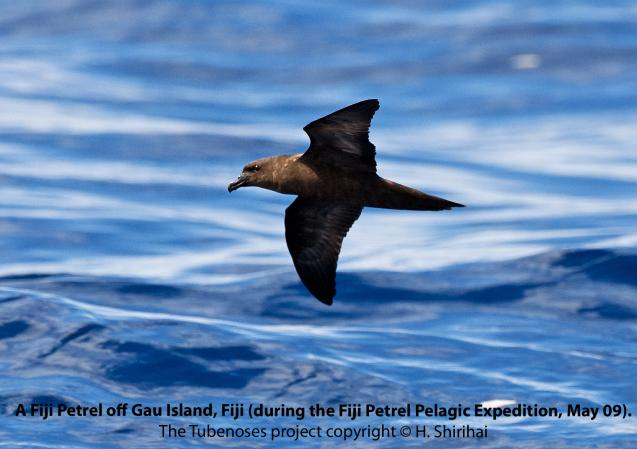 Fiji Petrel. First photograph. The Tubenose project. Hadoram Shirihai.