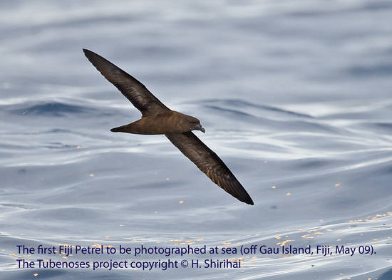 Fiji Petrel. The Tubenose project. Copyright: Hadoram Shirihai
