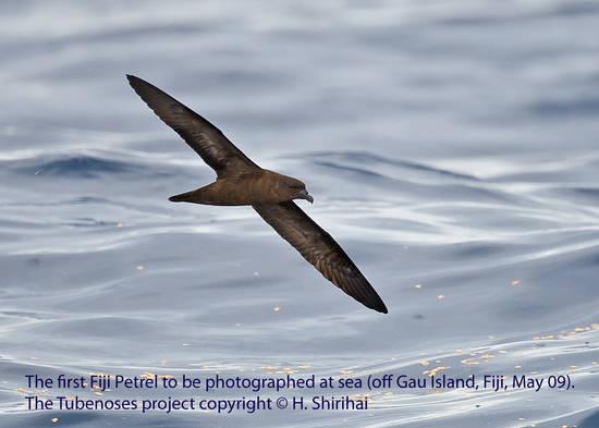Fiji Petrel. The Tubenose project. Copyright: Hadoram Shirihai