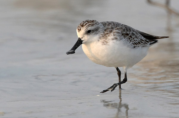 Spoon-billed Sandpiper Photo: Espen Lie Dahl