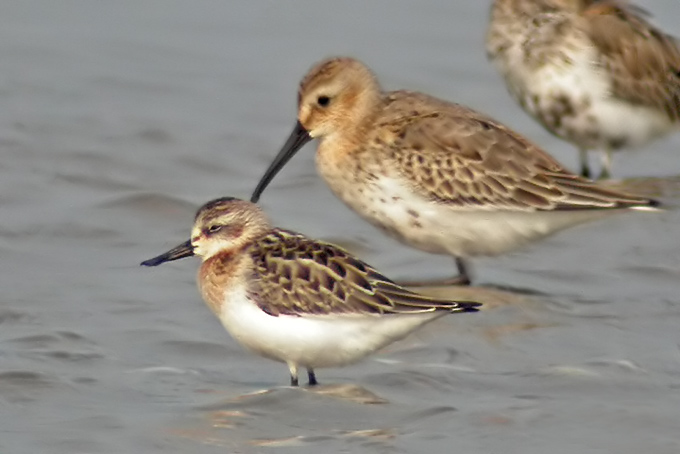 Spoon-billed Sandpiper. Photo: Nial Moores. Curlew Sandpiper in the background.