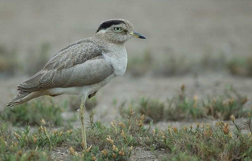 Peruvian Thick-knee. Photo: Tor-Egil Høgsås. Thanks for use!