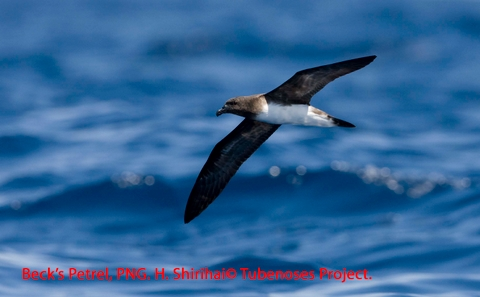 The recently rediscovered Beck's Petrel, in the Bismarcks, PNG. Photo: Hadoram Shirihai © Copyright, Tubenoses Project