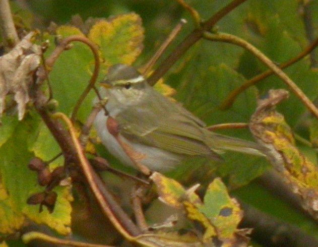 Eastern Crowned Warbler. Photo; Craig Shaw